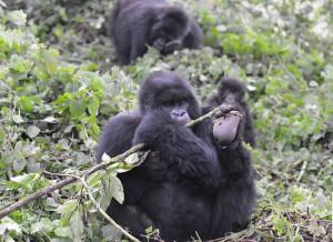 3 days uganda gorilla