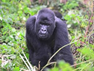 4 days uganda gorilla trek