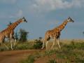 22 Giraffes to be transferred in Murchison NP – Uganda Safari News