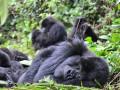 Why you should go Gorilla trekking in Uganda