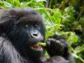 Discounted gorilla trekking permits in April, May & November