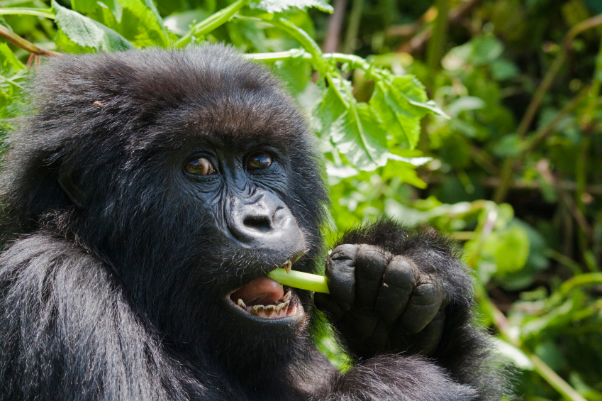 Discounted gorilla trekking permits in April, May & November