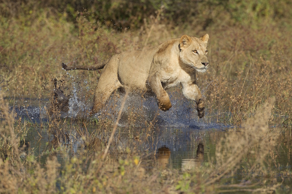 How a lioness brought life to a Uganda Wildlife Safari Tour