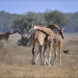 Increase in Wildlife Species improves Uganda's Tourism