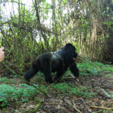 Mountain Gorilla Tracking Tours and Safaris in Africa