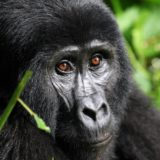 Rwanda Announces increase in the Price of Gorilla Permits