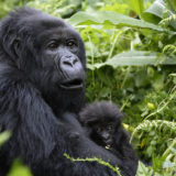 Which Gorilla Families to Trek in Mgahinga National Park